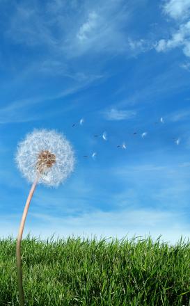 Dandelion-breeze