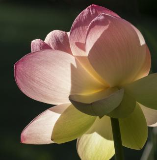 Pema Lotus-2