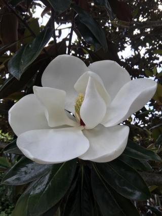 Lori's Magnolia